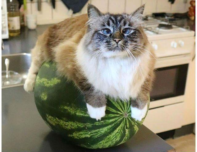 Кот лежит на арбузе