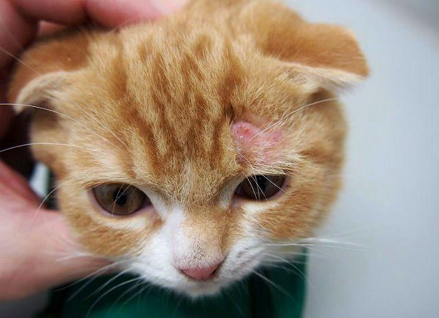 Симптомы лишая у кошки