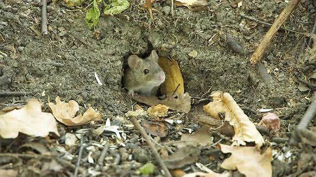 Норка мыши-полевки