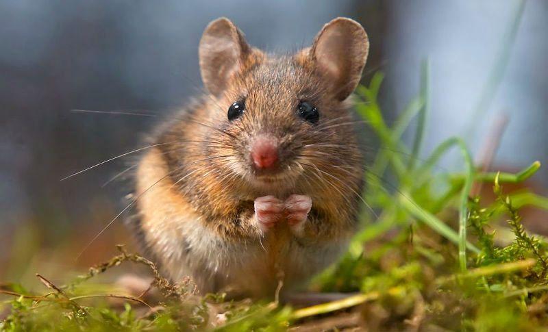 Мышь-полевка - главное фото
