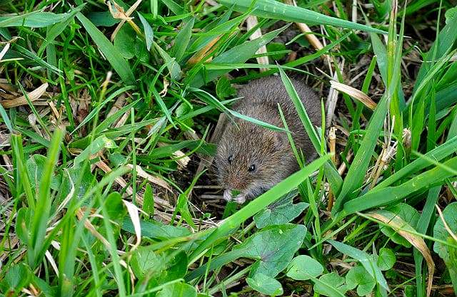 Мышь-полевка серого окраса