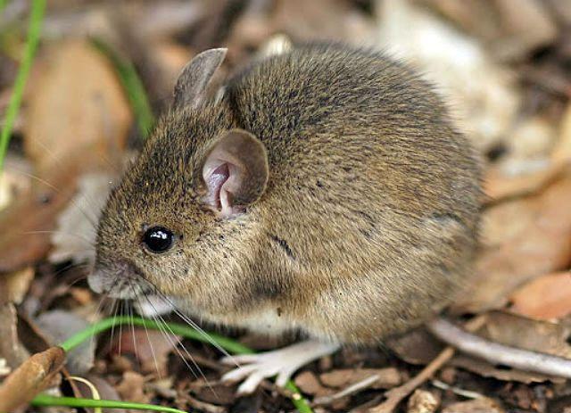 Мыши-полевки - среда обитания