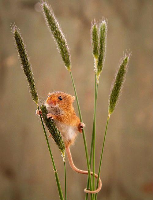 Мыши-полевки - питание