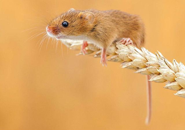 Рыжая мышь-полевка