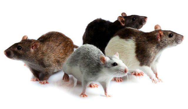 Описание домашней крысы - главное фото