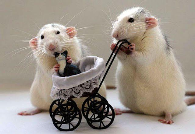Описание домашней крысы - дрессировка