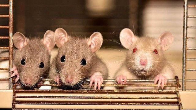 Как выглядит декоративная крыса: типы телосложения и описание окрасов
