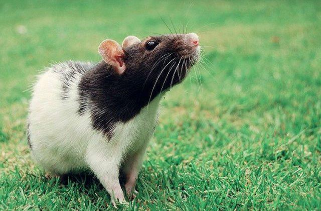 Домашняя крыса на прогуке