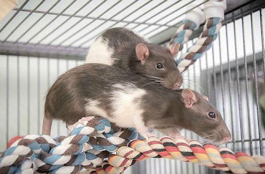 Домашние крысы в клетке