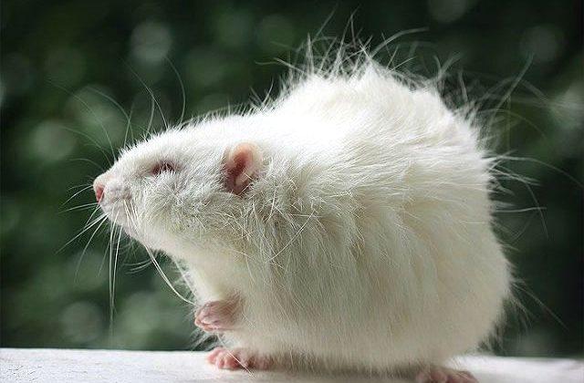 Декоративная длинношерстная крыса