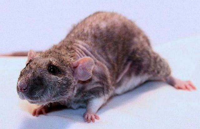 Декоративная крыса дабл-рекс