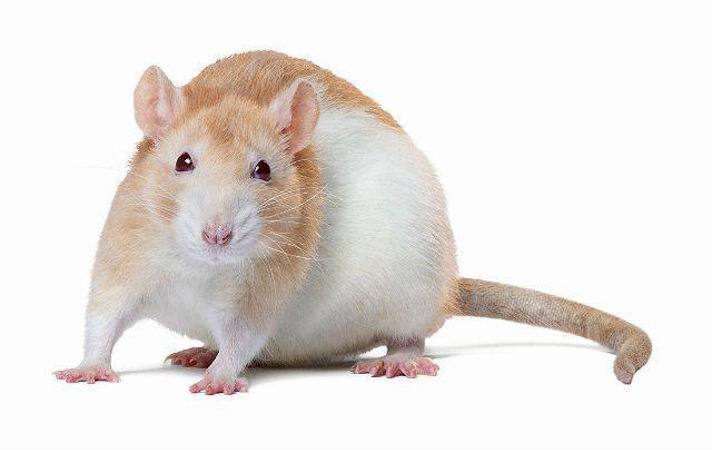 Описание домашней крысы - окрасы