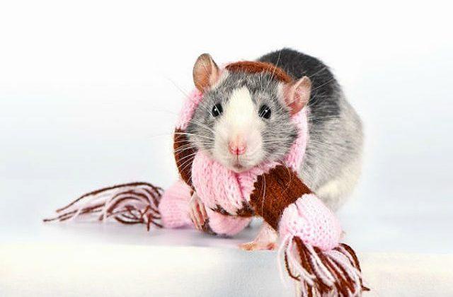 Домашняя крыса в шарфике