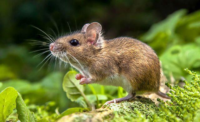 Мышонок полевки
