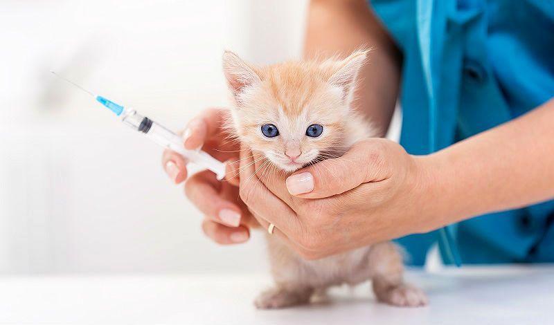 Прививки котятам - главное фото