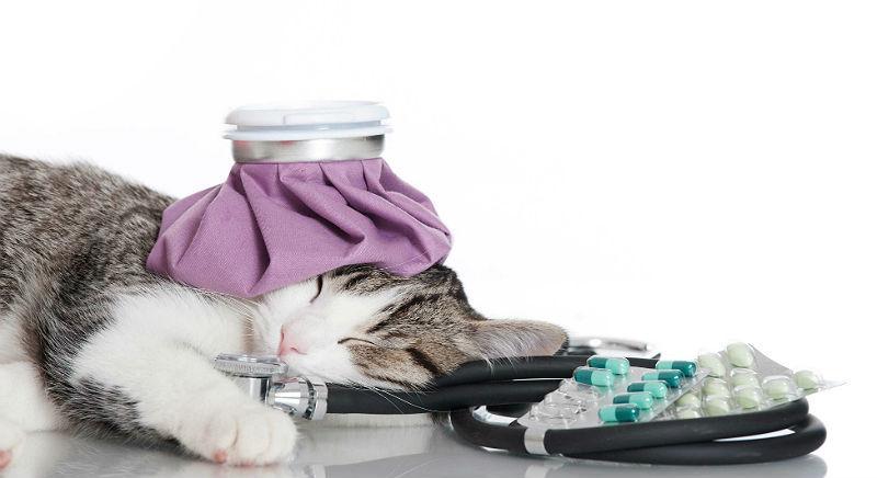 Может ли человек заразить кошку простудой