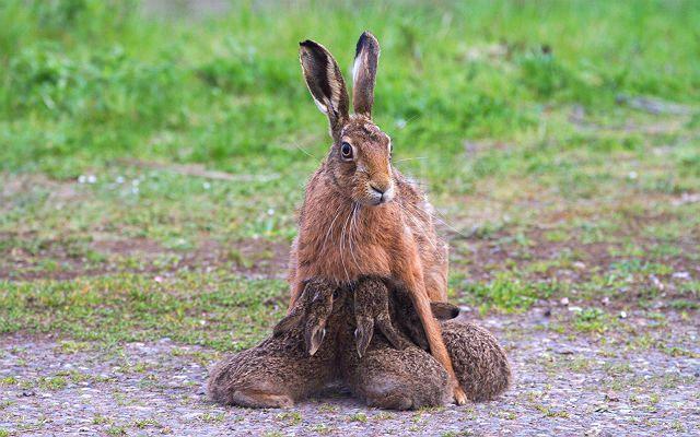 Размножение зайцев - главное фото