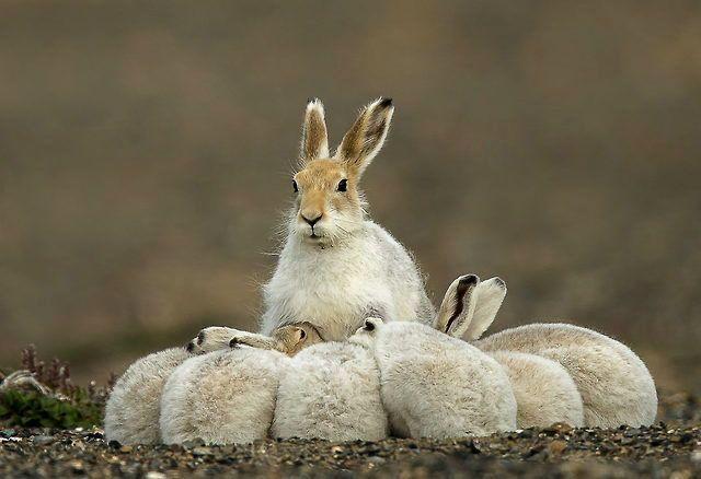 Зайчиха кормит зайчат
