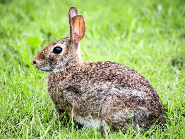Беременность зайцев