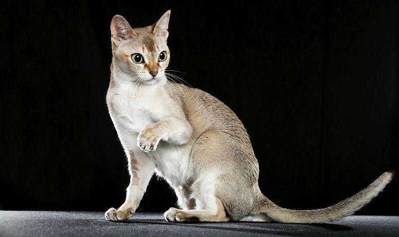 Сингапурская кошка - главное фото