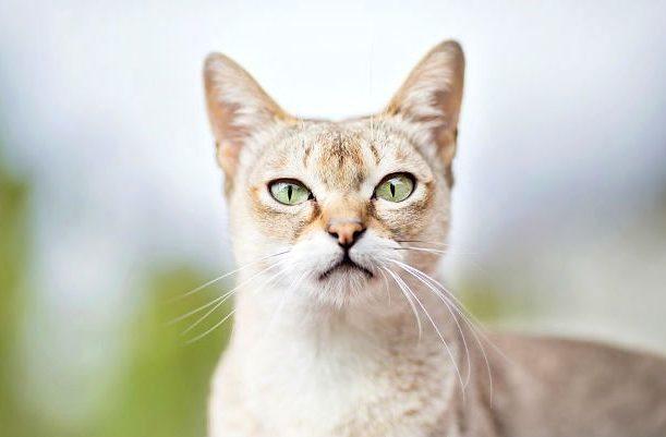 Сингапурская кошка - голова