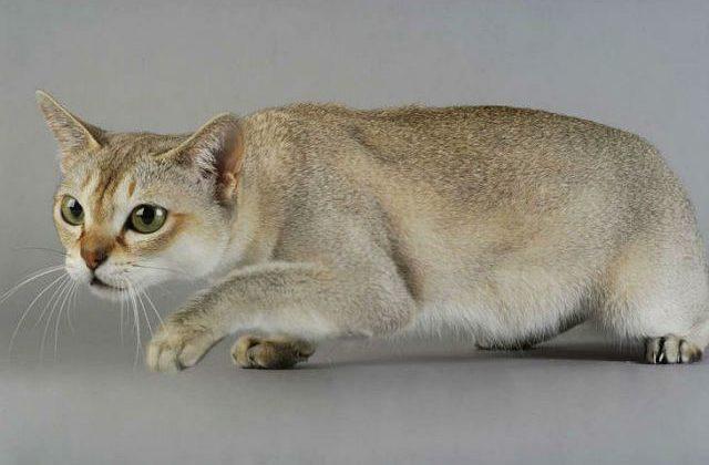Сингапурская кошка присела на лапках