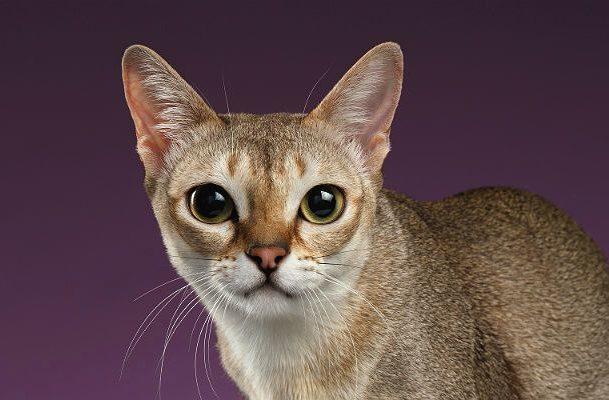 Сингапурская кошка - морда