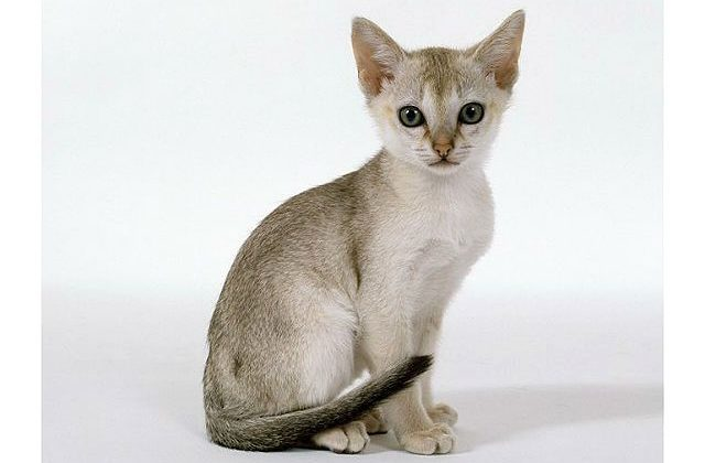 Котенок породы сингапура