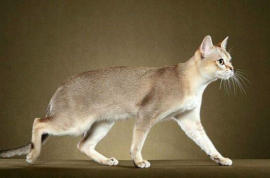 Сингапурская кошка - вид сбоку