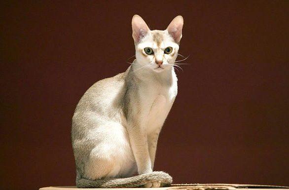 Сингапурская кошка на бордовом фоне