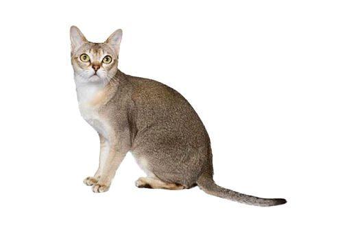 Сингапурская кошка сидит