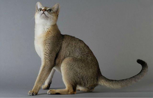 Сингапурская кошка - воспитание