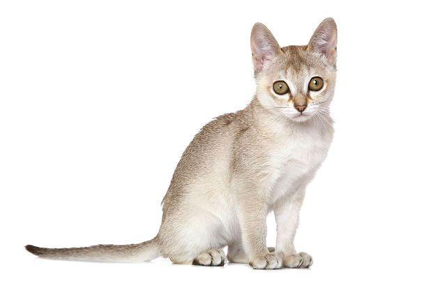 Сингапурский котенок