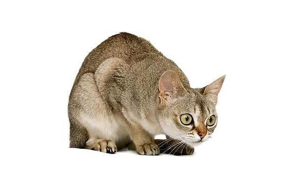 Сингапурская кошка - красавица