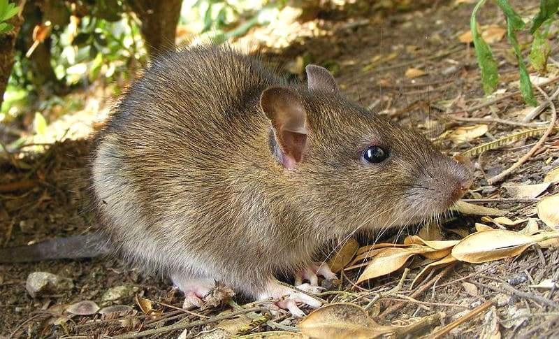 Сколько живут дикие крысы - главное фото