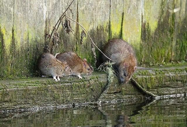 Дикие крысы у водоема