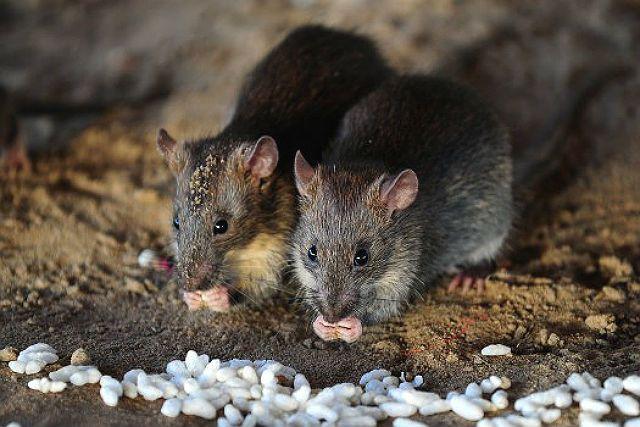 Рацион диких крыс