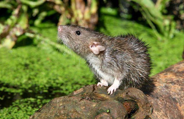 Детеныш дикой крысы