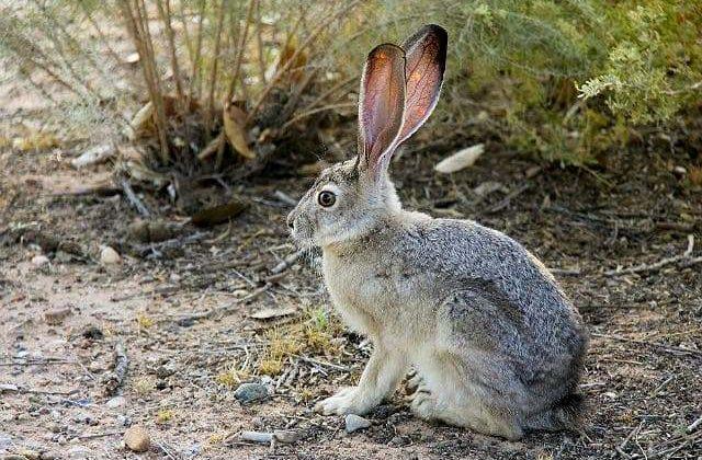 Степной заяц сидит