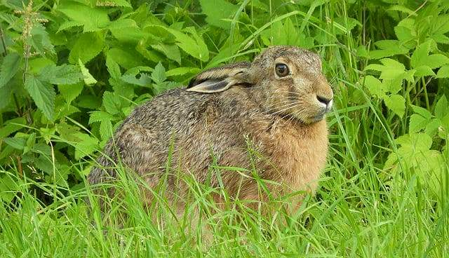 Степной заяц в траве
