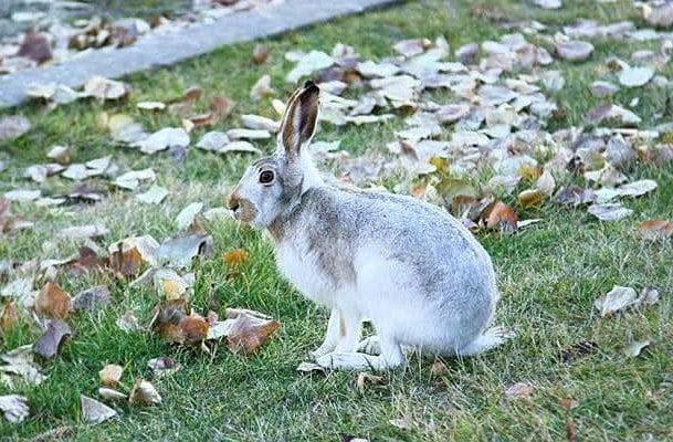 Степной заяц русак
