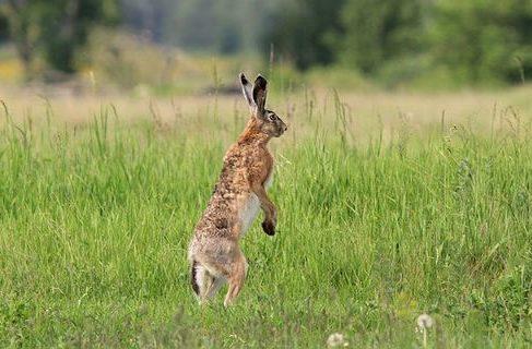 Степной заяц стоит на задних лапах