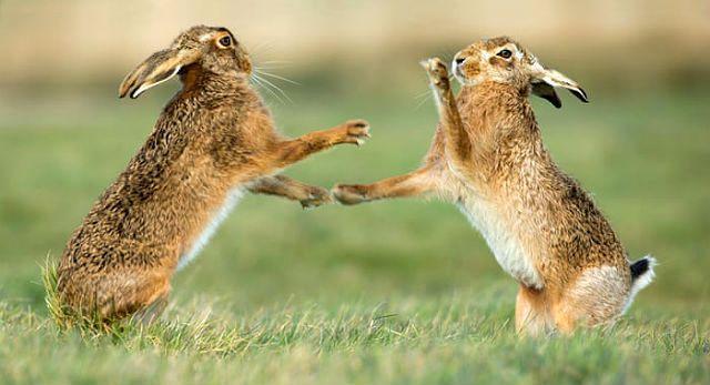 Зайцы русаки