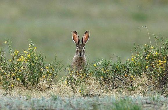 Степной заяц - вид спереди