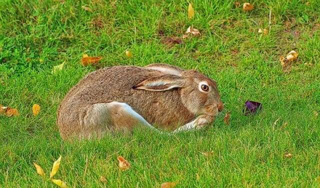 Степной заяц - основа питания
