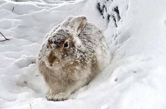 Степной заяц зимой