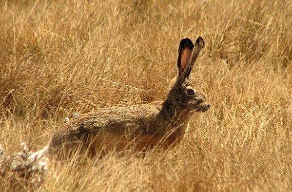 Степной заяц - вид сбоку