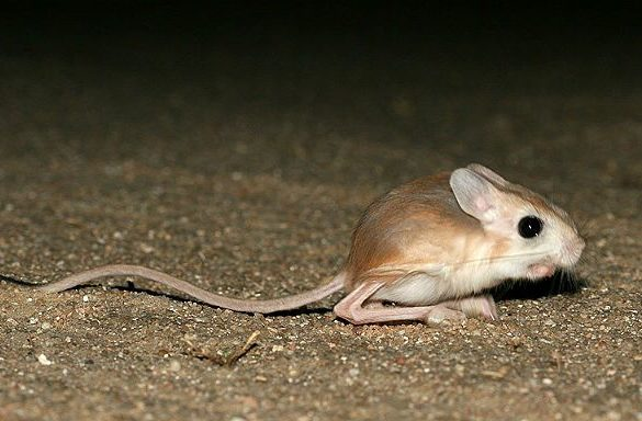 Тушканчик, похожий на мышку