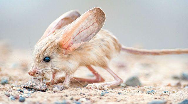 Тушканчик с большими ушами