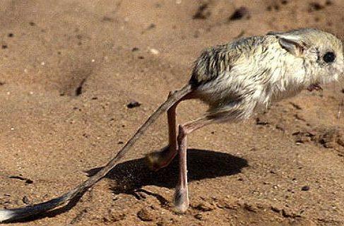 Тушканчик в пустыне